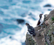 Auklets Art - Im Not Talking To You Either by F Hughes