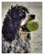 Spaniels Prints - Im Ready to Play Print by Benanne Stiens