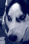 Husky Prints - Im watching you Print by Leanne Brewster
