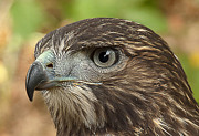 Red Tailed Hawk Prints - Im Watching You Print by Randy Hall