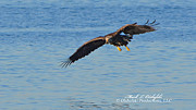 Mark Olshefski - Immature Bald Eagle...