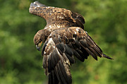 Shelley Myke Prints - Immature Bald Eagle Print by Inspired Nature Photography By Shelley Myke