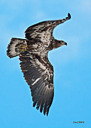 Stephen  Johnson - Immature Bald Eagle