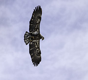 Immature Posters - Immature Bald Eagle With A Fish Poster by Thomas Young
