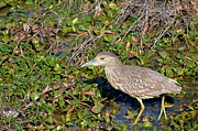 All - Immature Black Crowned Night Heron by Kathy Gibbons
