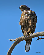 D700 Metal Prints - Immature Red Tail Hawk Metal Print by Stephen  Johnson
