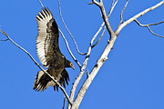 Wildlive Prints - Immature Turkey Vulture Print by Merle Ann Loman