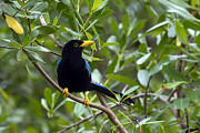 Immature Photos - Immature Yucatan Jay by Teresa Zieba