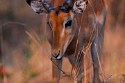 Stefan Carpenter Framed Prints - Impala Grazing Framed Print by Stefan Carpenter
