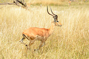 All - Impala Speed Burst by Tom Wurl