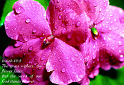Impatiens Posters - Impatiens with Raindrops Poster by Thomas R Fletcher