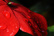 Larry Ricker - Impatiens With Water Drops