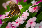 Impatiens Flowers Photos - Impatient Swallowtail by Bill  Wakeley