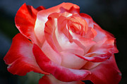 Imperfect Prints - Imperfect Rose Print by Deb Halloran