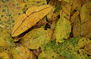 Forest Floor Photos - Imperial Moth Camouflaged in Leaf Litter by Pete Oxford