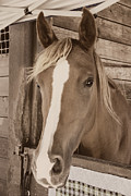 Forelock Photos - Imperial Pose - Sepia by Marilyn Wilson