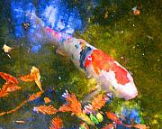 Swimming Fish Framed Prints - Impressionism  Koi 2 Framed Print by Amy Vangsgard