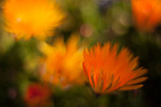 Painterly Photos - Impressionist Gerbera by Mike Reid