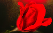 Impressionistic Rose Print by Dave Bosse