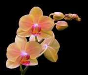 Orchids Photos - In Bloom by Rona Black