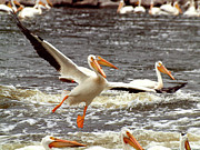 White Pelicans Framed Prints - In Coming Framed Print by Thomas Young