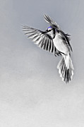 Flying Birds Prints - In Flight Bluejay Print by Bill  Wakeley