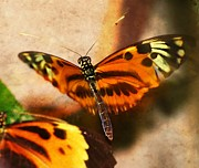 Orange And Brown Wings Prints - In Flight Butterfly  Print by Peggy  Franz