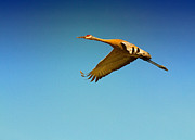The Bird Photo Prints - In Flight Print by Todd Bielby