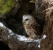 Shelley Myke Prints - In Hiding Saw Whet Owl in a Hollow Stump is part of the Birds of Prey Fine Art Raptor Wildlife Photo Print by Inspired Nature Photography By Shelley Myke