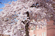 Cherry Blossom Prints - In Its Glory. Pink Spring in Amsterdam Print by Jenny Rainbow