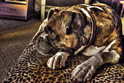 Boxer Photo Originals - In Repose by William Fields