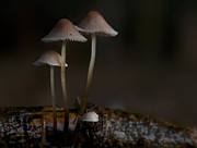 Mycology Prints - In The Dark Print by Odd Jeppesen