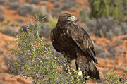 Golden Eagle Photos - In The Eagles Eye by Sandra Bronstein