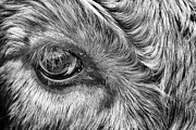 Steer Prints - In The Eye Print by John Farnan