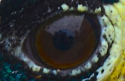 AnnaJo Vahle - In the eye of a peacock