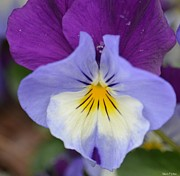 The Nature Center Prints - In the Face of a Pansy Print by Maria Urso