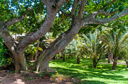 Beautiful Tree Prints - In the Garden. Mauritius Print by Jenny Rainbow