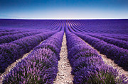 Violet Photos - In the lavender by Matteo Colombo