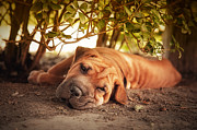 Pet Photo Prints - In the shade Print by Jane Rix