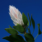 Protea Art Prints - In the Solitude of Your Heart Print by Sharon Mau