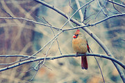 Cardinals. Wildlife. Nature. Photography Prints - In the Triangle Print by Kay Pickens