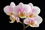 Orchid Artwork Prints - In Your Face Beautiful Print by Juergen Roth