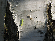 Pupa Prints - Inchworm on Paper Birch Print by Anna Lisa Yoder
