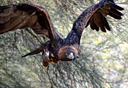 Golden Eagle Photos - Incoming Golden 2 by Fraida Gutovich