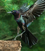 Jim Moore - Incoming Grackle