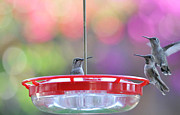 Migrating Hummingbird Framed Prints - Incoming Framed Print by Lynn Bauer