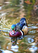 Wood Duck Framed Prints - Incoming Woody Framed Print by Bill Tiepelman