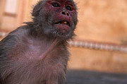 Ape Photo Originals - India monkey by Oleksii Vovk
