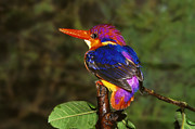 Bright Feathers Posters - India Three Toed Kingfisher Poster by Anonymous