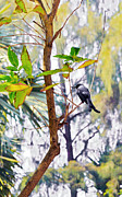 Looking Sideways Prints - Indian Black Drongo with juicy Grub Print by Kantilal Patel